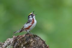 Chestnut sided Warbler (Joe Branco) Tags: lightroom photoshop nikond850 ontario canada wildlifephotography nikon branco joe joebrancophotography chestnutsidedwarbler green
