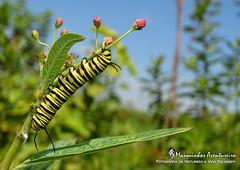 The monarch butterfly caterpillar - Danaus erippus (Cramer, 1775) (Marquinhos Aventureiro) Tags: danaus erippus nymphalidae lagarta caterpillar wildlife vida selvagem natureza floresta brasil brazil hx400 marquinhos aventureiro marquinhosaventureiro monarch butterfly