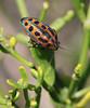 Unidenfied Bug (Wild Chroma) Tags: unidentified madagascar ifaty bug scutelleridae