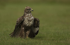 Buzzard (Ann and Chris) Tags: buzzard raptor birdofprey bird canon7dmarkii nature wildlife wild