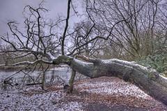 The Fallen (ArtGordon1) Tags: hollowpond hollowponds london england uk winter january 2019 davegordon davidgordon daveartgordon davidagordon daveagordon artgordon1 fallentree