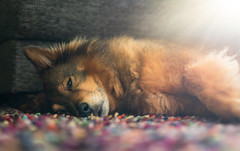 Relaxing on the Carpet (bramtop_1990) Tags: dog pet sunshine color colour carpet relax chill hond sultan huisdier kleed kleur lay sheltie x eurasier nikon d610 sigma 50mm f14 art inside sun light purple