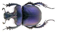 Enoplotrupes sharpi Rothschild & Jordan, 1893  Male (urjsa) Tags: coleoptera kaefer beetle insect enoplotrupes thailand suedostasien southeastasia taxonomy:order=coleoptera taxonomy:family=geotrupidae taxonomy:genus=enoplotrupes taxonomy:species=sharpi geo:country=thailand coleopteraus insekt sharpi enoplotrupessharpi taxonomy:binomial=enoplotrupessharpi