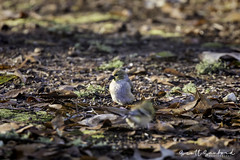 20190201-Birdfeed-017-Edit (Scott Sanford Photography) Tags: 80d canon ef14xiii ef100400mmf4556lii eos goldfinch naturalbeauty naturallight nature outdoor texas topazlabs wildlife birds