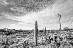 Sentinels (RoamingTogether) Tags: angiosperms arizona blackandwhite cactaceae cactus carnegieagigantea caryophyllales eudicotidae eudicots eudicotyledons floweringplants freemanhomesteadtrail hdr hiking nationalpark nikon nikon20mm28 nikond700 saguaro saguarocactus saguaronationalpark tucson