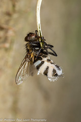 Fly Death Fungus (Tubs McHam) Tags: dof matthewpaullewis nature yongnuoyn24ex yn24ex canon canon6d flydeathfungus zombie yongnuo tubsmcham pathogenic macro fungus entomophthoramuscae entomophthorales small doomed fly diptera mpe65