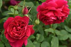 Rose 'L.D. Braithwaite' raised in UK (naruo0720) Tags: rose englishrose ldbraithwaite austinsrose bredbydbaustin englishrosescollection バラ 薔薇 イギリスのバラ エルディブレイスウェイト オースティンのバラ イギリスのバラコクション ニコンのカメラ シグマのレンズ nikonscamera sigmaslenses d810 sigma 105mm hsm sigma105mmf28exdgoshsm