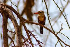 Kenya, Safari (Ninara31) Tags: kenya safari africa wildlife wildanimal bird africanbird samburu