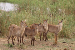 Waterbuck along the River Bank (Rckr88) Tags: waterbuck along river bank waterbuckalongtheriverbank krugernationalpark southafrica kruger national park south africa animal animals antelope nature outdoors wildlife travel rivers riverbank sabie sabieriver