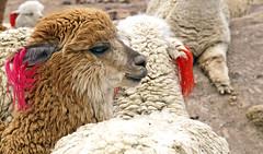 18 2225 - Pérou, l'altiplano, alpagas (Jean-Pierre Ossorio) Tags: pérou altiplano hautsplateaux animaux camelidé alpaga