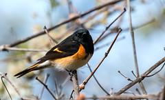 IMG_0235   American Redstart, warbler, spring migrant (ashahmtl) Tags: americanredstart bird warbler songbird passerine springmigrant setophagaruticilla longpointprovincialpark norfolkcounty ontario canada