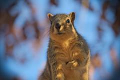 Squirrel, Cantigny Park. 68 (EOS) (Mega-Magpie) Tags: canon eos 60d nature wildlife outdoors squirrel cantigny park wheaton dupage il illinois usa america