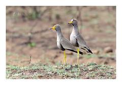 Vanneaux du Sénégal (FLL087) Tags: oiseau bird vanneau afriquedusud southafrica nature