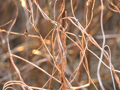 tangled up (vertblu) Tags: winter winterweeds tangle tangled wintercolours faded fadedcolours wintersun vertblu palecolours beige brown dof blurred blur blurry softcolours