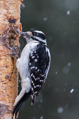 winter tough (jimmy_racoon) Tags: canon 400mm f56l 5d mk2 woodpecker birds december nature prime snow winter canon400mmf56l canon5dmk2 hairywoodpecker