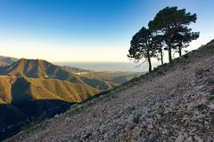 Four Trees — opon a solitary Acre — (Eliza Eska) Tags: gaviarra larutagaviarra landscape mountains sea mediterranean tree pine tejeda almijara alhama sierrasdetejedaalmijarayalhama nerja puertodelcollado nature