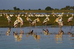 Painted Storks (_Amritash_) Tags: stork storks paintedstork mycterialeucocephala wader wetland backwaters bhigwan bird birds birdsanctuary sanctuary sunsetlights