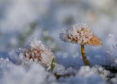 frozen mushrooms (bugman11) Tags: ice crystal crystals hail winter macro mushroom mushrooms flora fungi haarlem thenetherlands nederland nature canon 100mm28lmacro bokeh