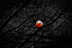 Mister Blood Moon behind the trees (JB Fotofan) Tags: nachtaufnahme nightshot rot red bloodmoon fz1000 lumix trees bäume frankfurt mondfinsternis totaleclipse eclipse moon mond