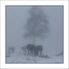 Spirit in the Mist (Francis =Photography=) Tags: europa europe france grandest lorraine vosges 88 chevaux cheval pferd brume horse mist silhouettesmisty lehautdutôt