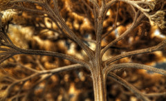 Branched (arbyreed) Tags: arbyreed plant fractal branch seedhead branches close closeup