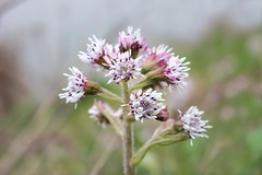 Heliotrope (ekaterina alexander) Tags: heliotrope clusters wild winter flower pale pink white flowers petasites fragrans england sussex ekaterina alexander nature photography pictures