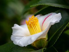 Kamelie (LuckyMeyer) Tags: flower fleur garden botanical white green yellow makro kamelie