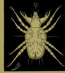 This image is taken from Page 77 of Les acariens parasites [electronic resource] (Medical Heritage Library, Inc.) Tags: acari arachnid vectors wellcomelibrary ukmhl medicalheritagelibrary europeanlibraries date1892 idb20406186