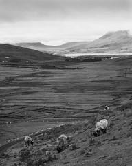 Achill (adambermingham) Tags: achill ireland mayo fujifilm xpro2 landscape sheep blackandwhite