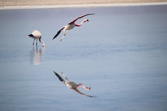 Emergency Landing (Jamie Hennessy Jackson) Tags: canon eos beauty beautiful pretty nature wildlife bird birds flamingo action actionshot animal animals water reflection reflect cool amazing