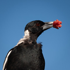 20190204_2470_1D3-100 Adult magpie with food (mince) (johnstewartnz) Tags: canonapsh cracticustibicen gymnorhinatibicens squarecrop 100mm apsh canon magpie magpies 1dmarkiii 1d3 1dmark3 1d 1dmkiii 1dmk3 1diii 100canon 100mmf28lmacro bird australianmagpie