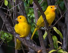 Two little birds (vliege) Tags: curacao nikon photography nikond500 bird yellow birds caribbean tropical paradise nature