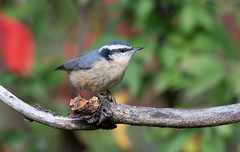 Red-breasted Nuthatch (mandokid1) Tags: canon 1dx ef600mm11 birds