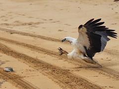 Talons out (atkins_eunice) Tags: birdofpray bird eagle swooping fish beach temma tasmania whitebelliedseaeagle