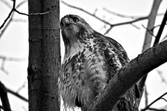 AMBUSH PREDATOR, ACA PHOTO (alexanderrmarkovic) Tags: hawk blackandwhite acaphoto hunter predator