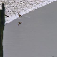 Kingfisher (ianbartlett) Tags: outdoor mist murk wildlife nature birds seal bull water river pylons colour loght