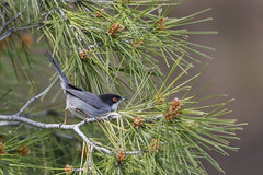 curruca cabecinegra (sylvia melanocephala) 3 (JMArmengod) Tags: naturaleza nature wildlife fauna animal ave bird curruca sylvia currucacabecinegra sylviamelanocephala samtkopfgrasmücke warbler fauvette toutinegra sardinianwarbler occhiocotto fauvettemélanocéphale toutinegradecabeçapreta jmarmengod