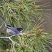 curruca cabecinegra (sylvia melanocephala) 3