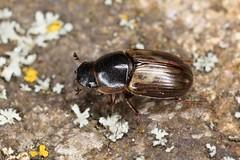 Melinopterus sp. (chug14) Tags: