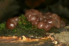 Ascotremella faginea (Peck) Seaver, 1930 = Haematomyces fagineus Peck, 1890 = Neobulgaria faginea (Peck) Raitviir, 1963, l'ascotrémelle du hêtre. (chug14) Tags: