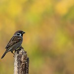 Tree Sparrow thumbnail