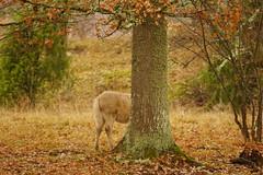 Halva hösten (tusenord) Tags: fotosondag ek höst föl november autumn häst fs181111 horse foal tree oak