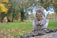 Squirrel (karvainen kana) Tags: squirrel autumn autumnal autumncolour autumncolours eating butepark sweet cute animal nature