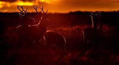 Red Deer at Sunset (Peter Quinn1) Tags: rimlighting reddeer stag herd sheffield derbyshire easternmoorspartnership rspb nationaltrust bigmoor deer sunset autumn november moorland evening