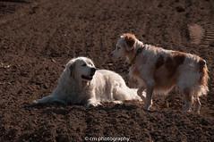 friends??? (corinna1411) Tags: pets haustiere dogs hund hunde dog golden goldenretriever retriever play spielen feld field outdoor nikon nikond300 spaziergang walk fun spass contactgroups