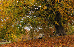 The old one (P.Woolley) Tags: europeanbeech tree fall fallcolors autumn autumncolors franciswilliambirdpark birdpark nikon d7000 nikond7000