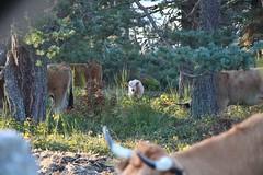 Un veau protégé par le troupeau (baptistehenrion) Tags: animal wild cow veau nature lozere france