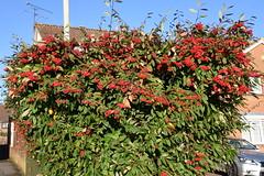 DSC_2227 (PeaTJay) Tags: nikond750 reading lowerearley berkshire gardens outdoors flora fauna plants flowers trees bushes