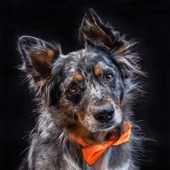 45/52 Weeks of Finn (Raquel Robison) Tags: 52weeksfordogs 52weekoffinn studio portrait finleyblue dogs pet