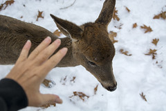 hunger overcomes fear (Barbara A. White) Tags: deer fawn odd rare unique encounter wildlife petting approachable winter